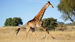Giraffe Wallpaper 11456