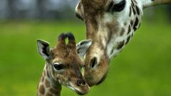 Giraffe Wallpaper 11457