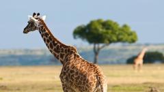 Giraffe Wallpaper 11458