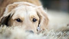 Golden Retriever 30705