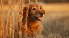Golden Retriever 40300