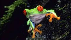 Green Frog 33417