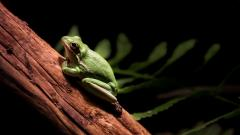 Green Frog Pictures 33408