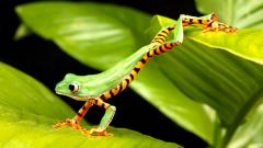 Green Frog Wallpaper HD 33407