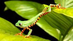 Green Frog Wallpaper HD 33407