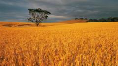 Harvest Wallpaper 37757