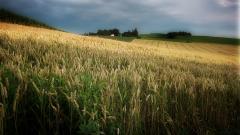 Harvest Wallpaper 37766