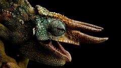 HD Chameleon Wallpaper 23634