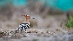 Hoopoe Wallpaper HD 39726