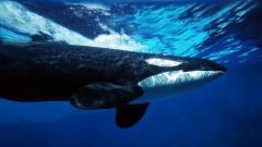 Killer Whales 23658