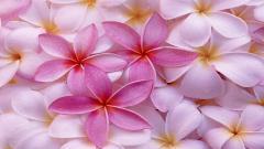 Light Pink Flowers 27835