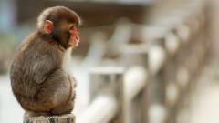 Monkey HD 25501