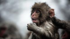 Monkey Wallpaper 25513