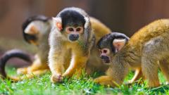 Monkeys 25507