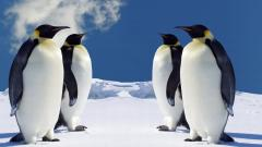 Penguin Wallpaper 13734