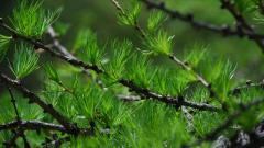 Pine 31448