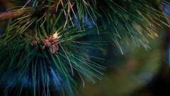 Pine 31453