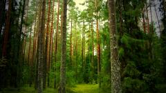 Pine Wallpapers 31441