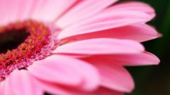 Pink Daisy Wallpaper 22181