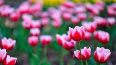 Pink Tulips 22690
