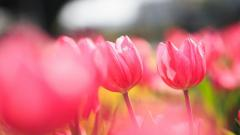 Pink Tulips 22691