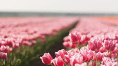 Pink Tulips 22694