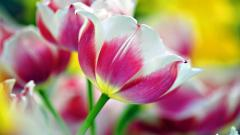 Pink Tulips Wallpaper 22700
