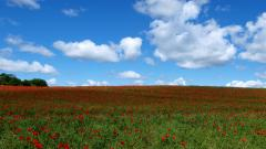 Poppy Field Background 32144