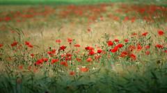 Poppy Field Wallpaper 32146