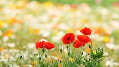 Poppy Field Wallpapers 32147