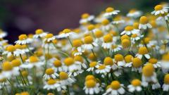Pretty Chamomile Wallpaper 20234