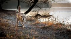 Pretty Golden Retriever Wallpaper 40301