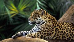 Rainforest Jaguar Wallpaper 24474