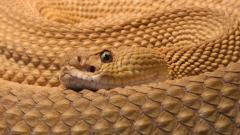 Rattlesnake 29844