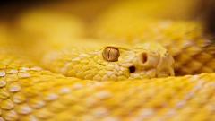 Rattlesnakes 29839