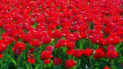 Red Flowers 33701