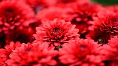 Red Flowers Wallpaper 33704