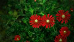 Red Flowers Wallpaper 33712