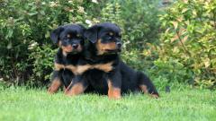 Rottweiler Puppies Wallpaper 38273