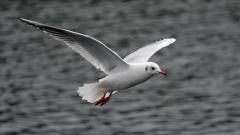 Seagull Background 30692