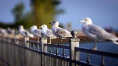 Seagulls 30695