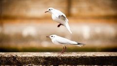 Seagulls HD 30704