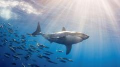 Sharks 23668