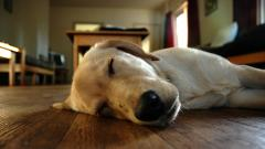 Sleeping Dog Wallpaper 40223