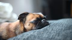 Sleeping Dog Wallpaper 40232