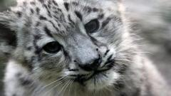 Snow Leopard Wallpaper 21006