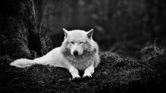 Stunning White Wolf Wallpaper 19857