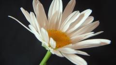 White Flowers 33698