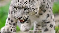 White Leopard Wallpaper 21002