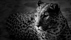 White Leopard Wallpaper 21003